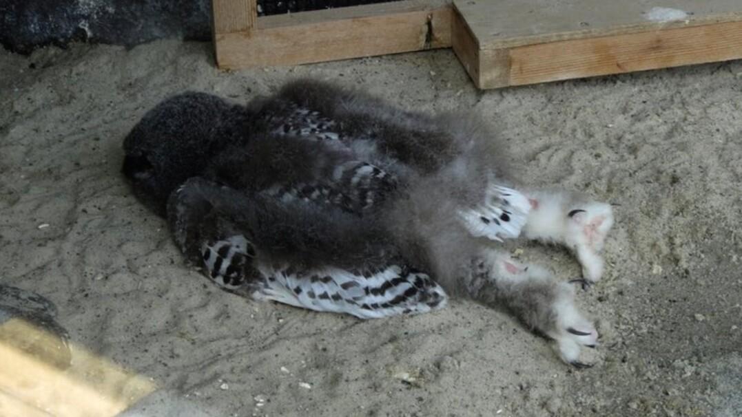 Małe sowy śpią na brzuchu niczym dzieci