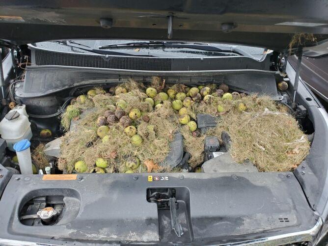 Ponad 200 orzechów pod maską samochodu (Chris Persic/Instagram.com/BarkandShutter)