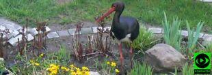 Bocian czarny w ogrodzie Reportera 24. Regularnie wyjada rybki z sadzawki