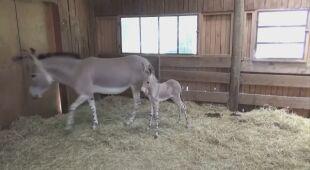 Mama z nowonarodzonym osłem w chilijskim zoo